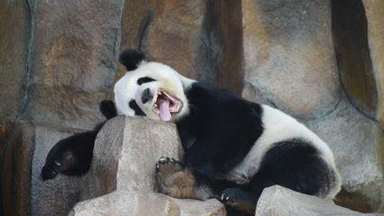 Giant panda in public zoo chiangmai Thailand