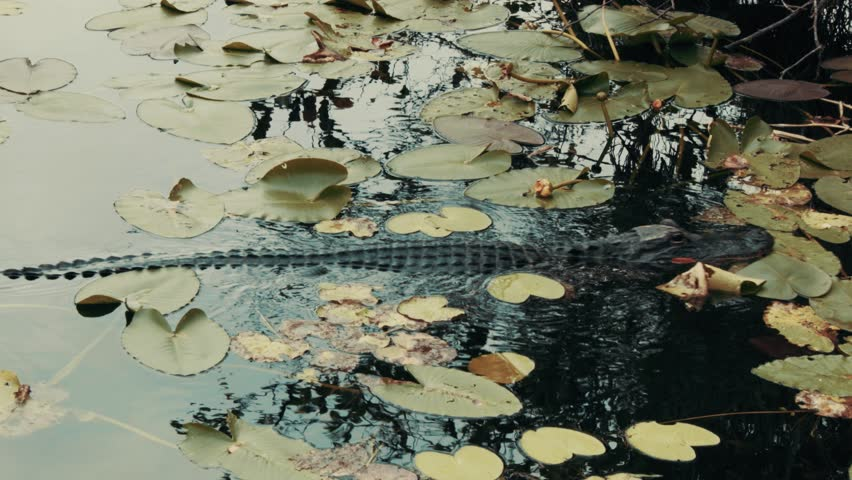 A crocodile swimming between Water Lilies, Everglades, Florida, USA.