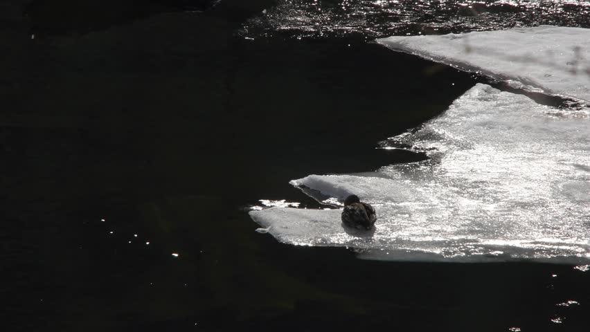 Duck on the ice | Shutterstock HD Video #2318789