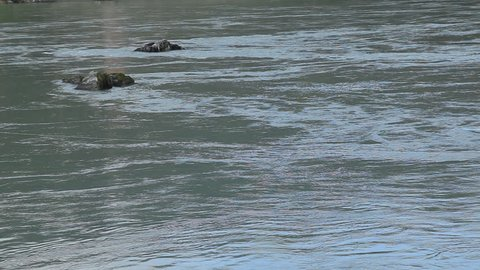 the stones in the river with a strong current. River Katun in the Republic of Altai. Stones in blue water.
