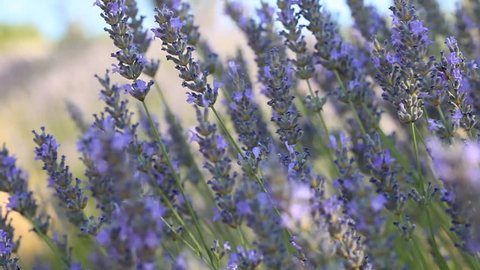 Beautiful Blooming Lavender Flowers swaying in the wind.Provence, South Türkiye, Europe. Calm Cinematic Nature Background.