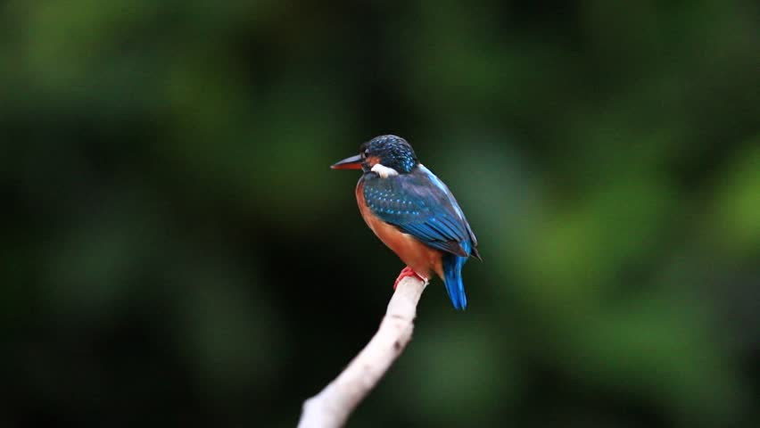 Beautiful Female of Common Kingfisher ( Alcedo atthis ) Bird, Standing on a branch, at Bangpoo Recreation Center of Thailand, Slow Motion | Shutterstock HD Video #23328418