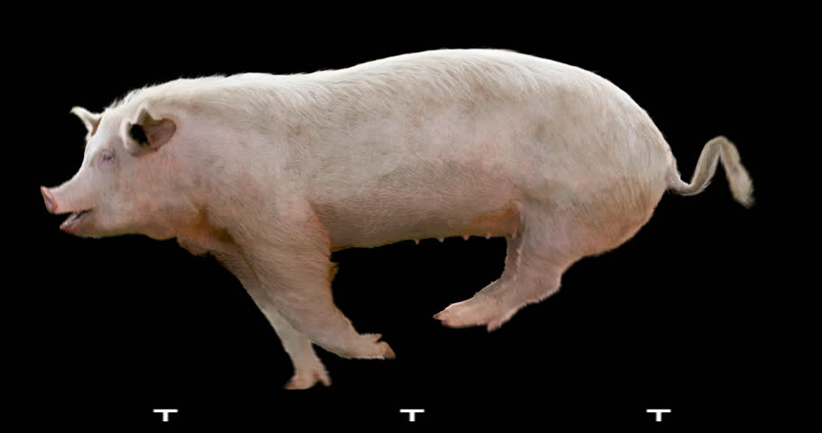 Pig gallop runs. Animation is cyclic and isolated. Alpha channel. | Shutterstock HD Video #23346148