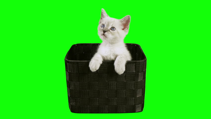 Kitten In Box Green Screen (HD)  Siamese one month old kitten shot against green screen inside a mesh box. Use your favorite green screen knock application and use anywhere.