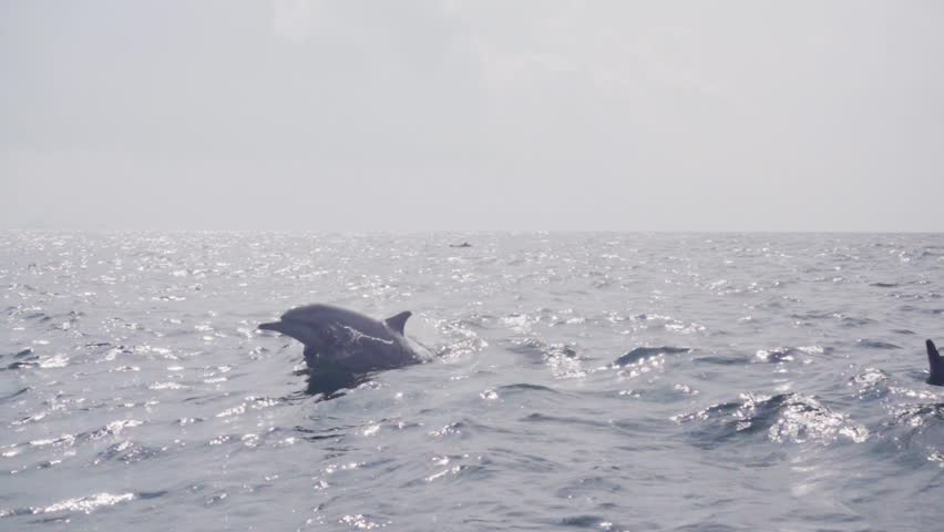 Dolphins jumping and swimming in super slow motion (250 fps), ungraded, s-log Royalty-Free Stock Footage #23370973