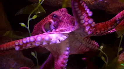 free swimming Giant Pacific Octopus  (Enteroctopus dofleini, North Pacific giant octopus; source: Full HD RAW video) - largest type of octopus - smartest invertebrates