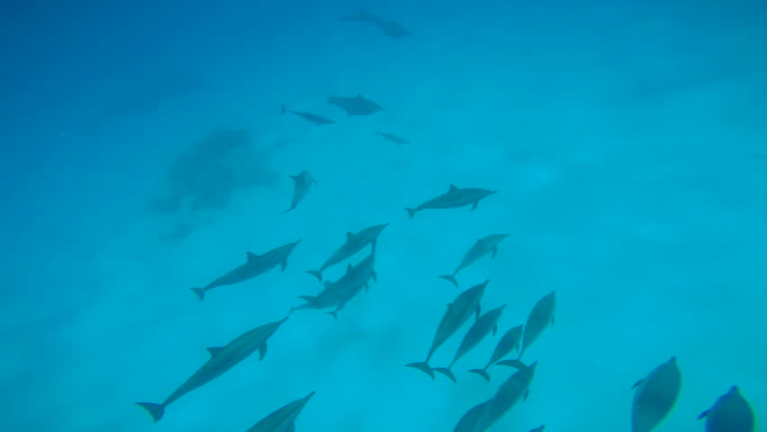 Dolphins mating season. Excellent scuba diving in the Red sea near Egypt.  | Shutterstock HD Video #23422633
