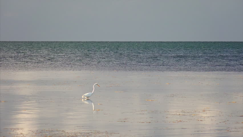 Great Egret aka White Heron hunting in the shallow waters of the Florida Keys | Shutterstock HD Video #23442628