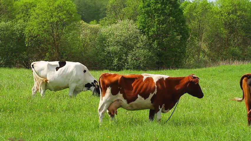Livestock Stock Video Footage Livestock Hd Video Clips Bigstock