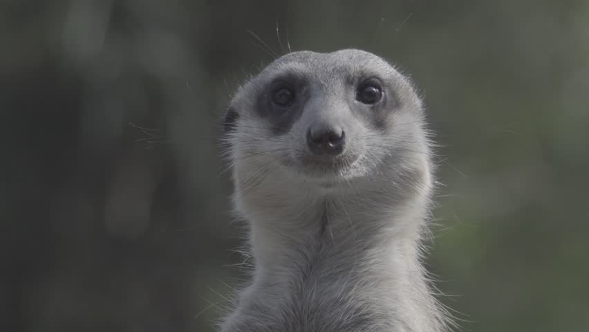 Little brown meerkat alert watch out for danger : 4K Ungraded flat profile Log file out of camera   Shutterstock HD Video #23545492