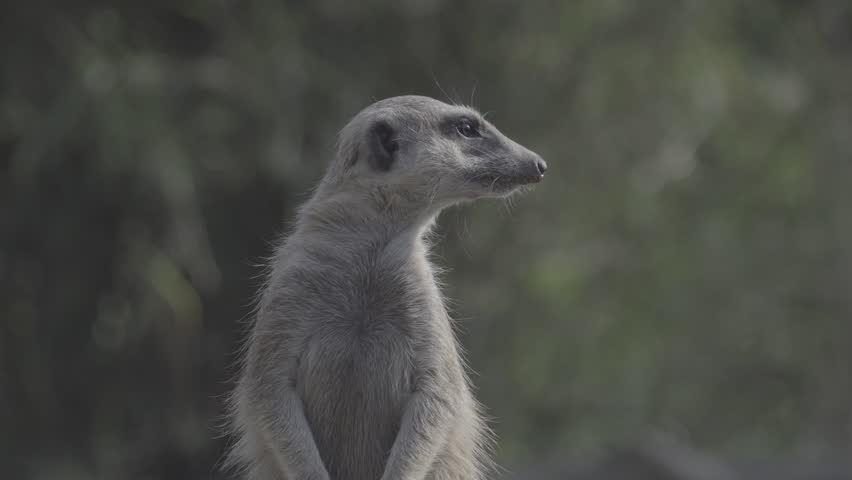 Little brown meerkat alert watch out for danger : 4K Ungraded flat profile Log file out of camera   Shutterstock HD Video #23545498
