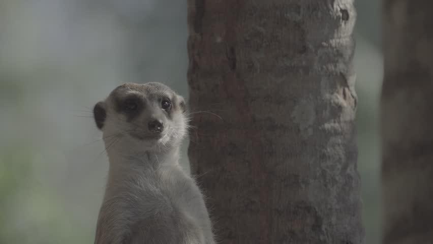 Little brown meerkat alert watch out for danger : 4K Ungraded flat profile Log file out of camera   Shutterstock HD Video #23545504