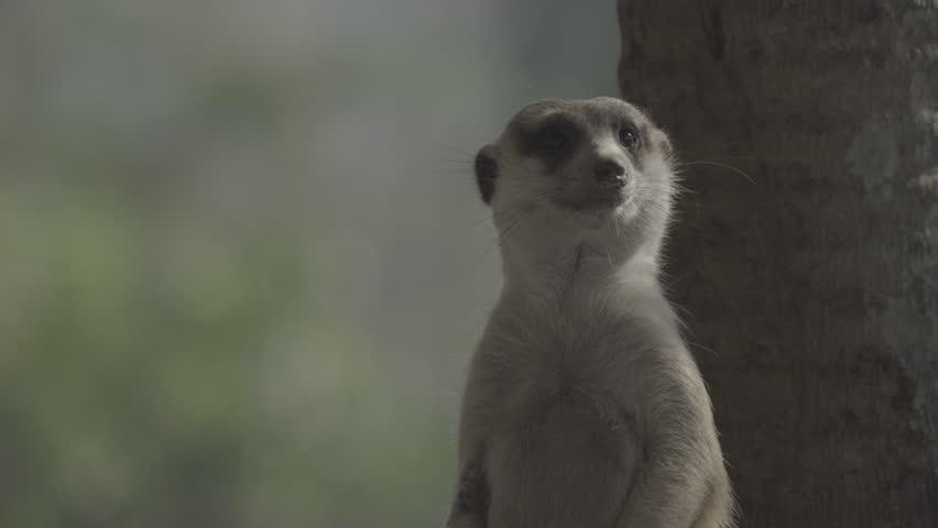 Little brown meerkat alert watch out for danger : 4K Ungraded flat profile Log file out of camera   Shutterstock HD Video #23545510