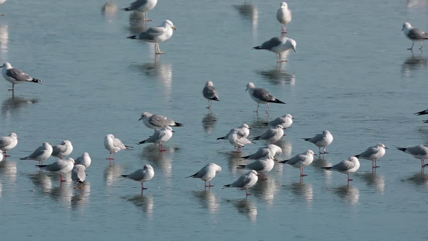 Variety of water birds, mostly gulls on a frozen river | Shutterstock HD Video #23548069