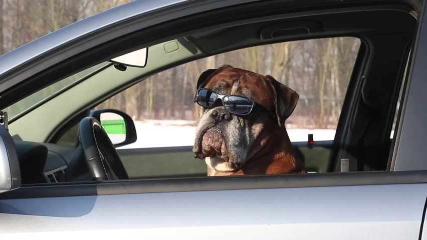 Boxer dog with sunglasses sitting on the driver seat,