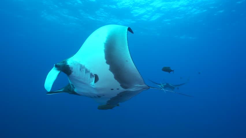 Giant manta rays swimming in the blue - Socorro, San Benedicto island