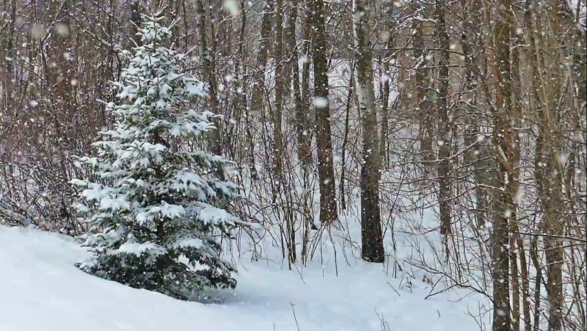 4K Snowing on Spruce Tree in Slow Motion | Shutterstock HD Video #23663209