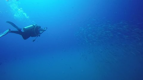 Swimming with Barracuda