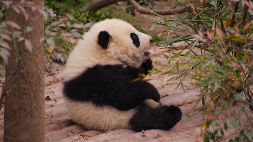 Panda Cub Try To Eat Stock Footage Video 100 Royalty Free 23732089 Shutterstock