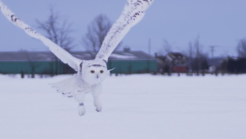 Snowy owl slow motion take off flight in snow