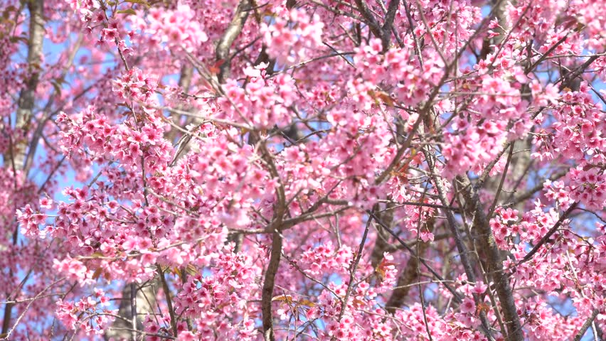 Cherry Blossom Tree Branch Pink Petal Stock Footage Video 100