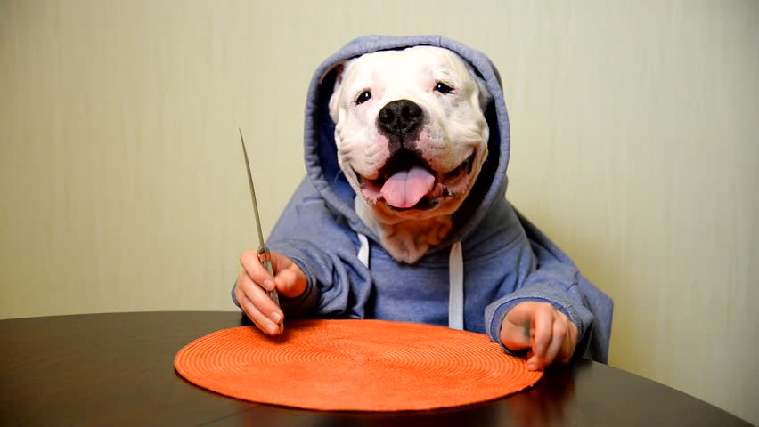 Staffordshire terrier eating with a knife and fork    Shutterstock HD Video #23823829
