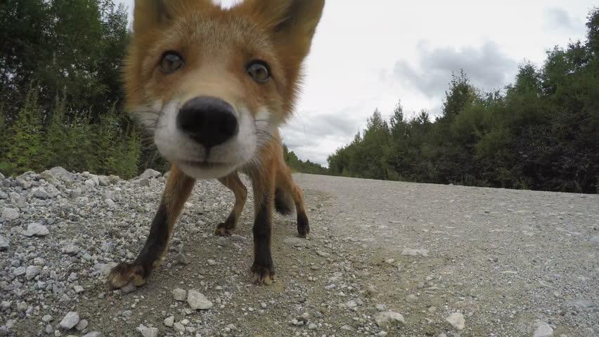 Beautiful wild red fox biting camera on road. Kamchatka Peninsula, Russian Far East.