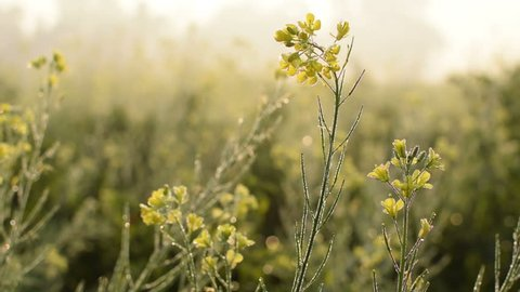 HD stock footage of dew drops on mustard flowers, agriculture video shot in winter morning
