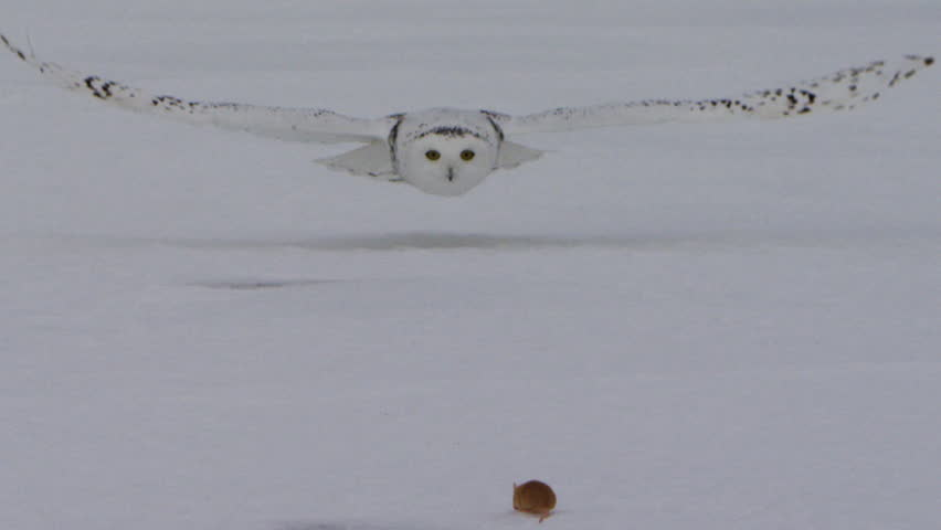 Snowy Owl head on flying at mouse and grabbing it in talons