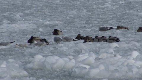 Birds of Ukraine. Ducks and common gull (Larus canus) on ice