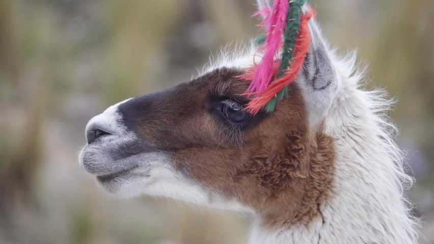 Portrait of a llama wearing yarn decorations on their ears, Peruvian Andean.