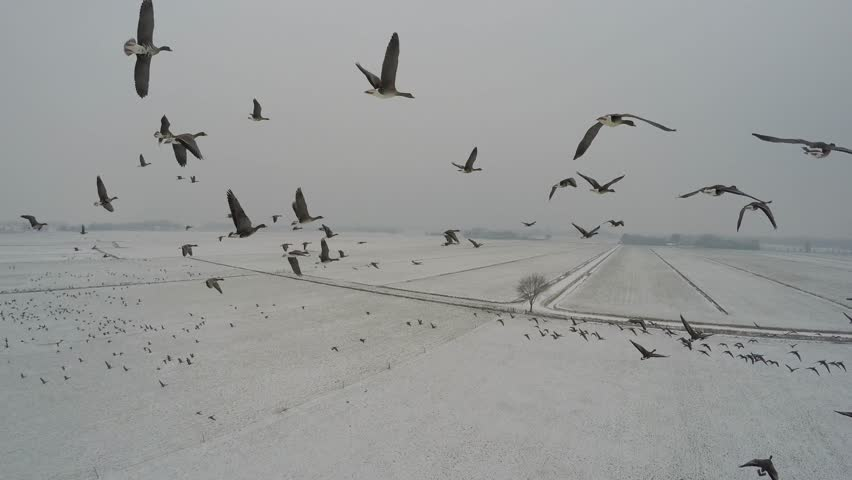 Aerial beautiful footage flying within a flock of geese above white snow landscape several goose moving left and right large birds migrating to different area amazing birds and steady footage 4k