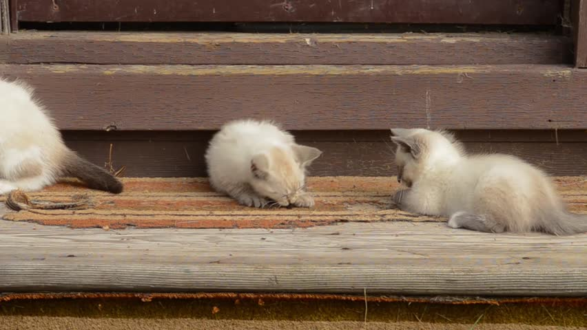 Feral siamese cross kittens playing in the sun on old shed steps | Shutterstock HD Video #23991457