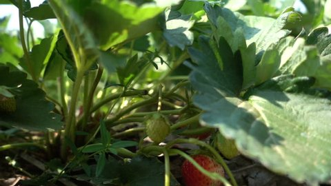 Closeup strawberries growing in farm, slow motion