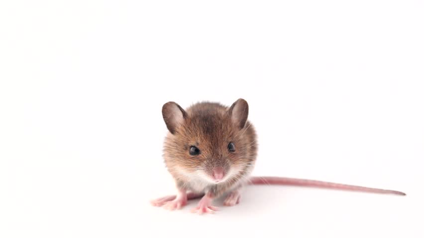 Cute Little Mouse On a Stock Footage Video (100% Royalty-free ...