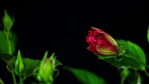 Red Hibiscus Flower Blooming opening 4K