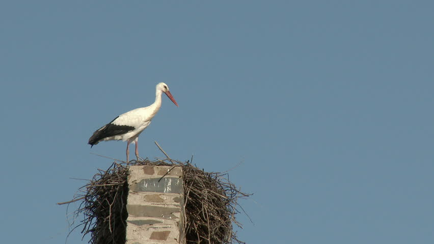 White stork (Ciconia ciconia) male waiting on nest for female to arrive, build on a church roof, Extramadura, Spain.
