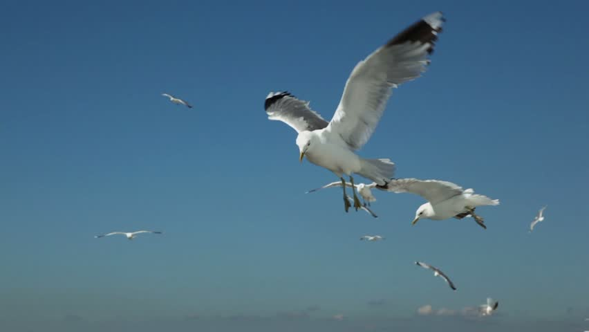 Pieces of bread thrown for several gulls flap and fly in pure blue sky, some of them are very close
