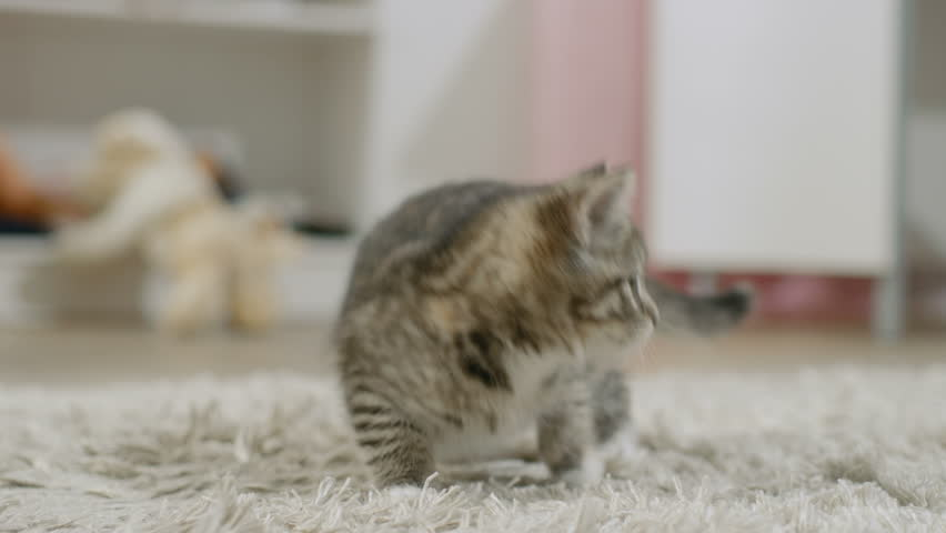 Scared Black Striped Kitten Arches His Back and Hisses. Shot on RED EPIC-W 8K Helium Cinema Camera. | Shutterstock HD Video #24252137