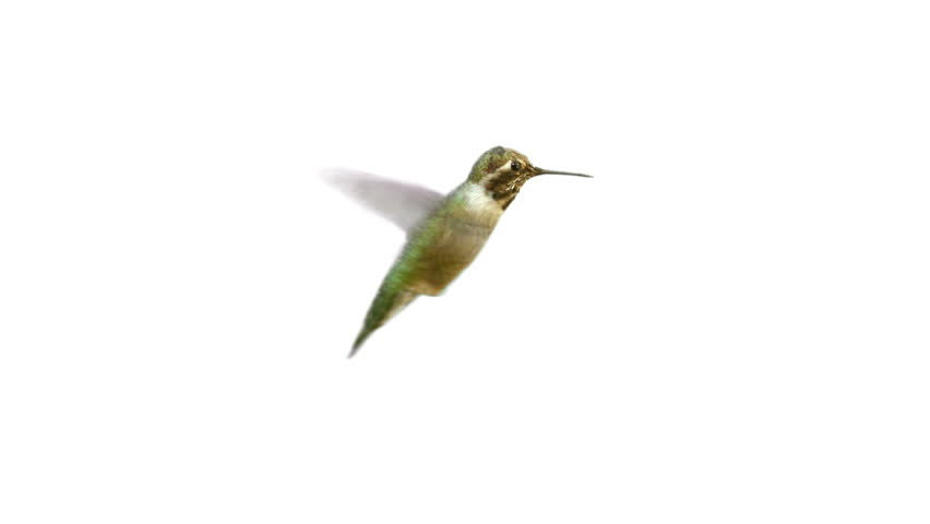 Video of real Humming bird with Alpha Matte on the white background