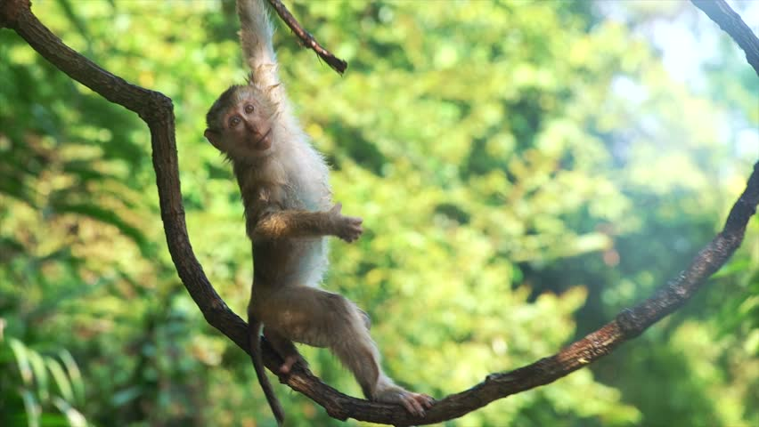 Baby monkey hanging on liana in lowland green tropical rain forest. Concept of wildlife nature and mammal animals of Indonesia. Cute primate in its natural habitat. Funny ape climbing up in the jungle