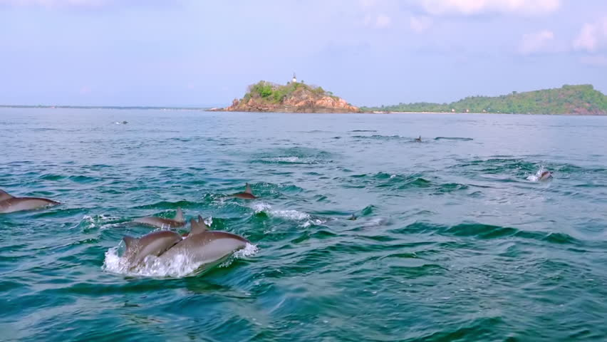 Lots of porpoising Spinner Dolphins breaching off and catching tuna fish during morning hunt. Group of marine mammals against big green island on background. Sri Lanka. Long shot. Slow motion. | Shutterstock HD Video #24323453