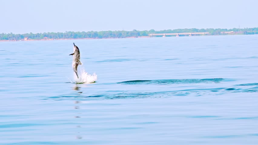 Spinner Dolphin (Stenella longirostris) making leap in air. Amazing marine animal performing spectacular trick. Sea carnivore hunting for tuna fish in morning. Sri Lanka. Long shot. Slow motion.