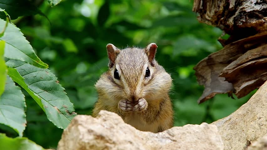 Chipmunk eating sunflower seeds