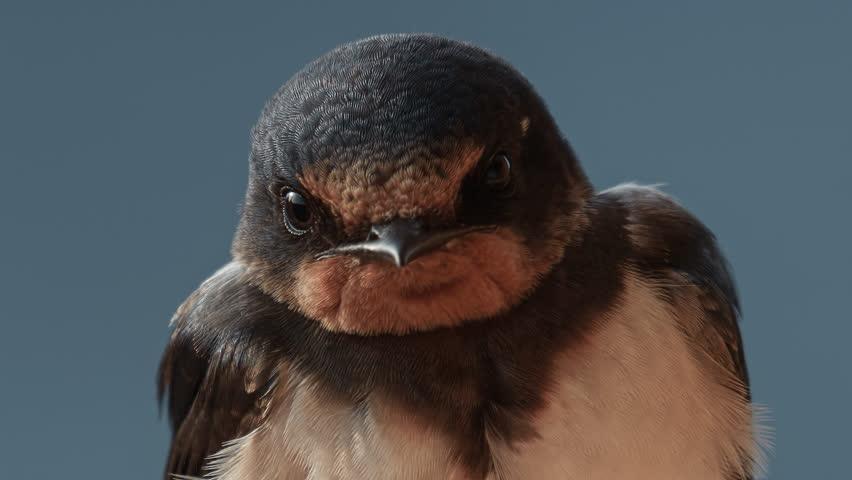 European song bird species: Barn Swallow (Hirundo rustica). A portrait of adult. | Shutterstock HD Video #24345734