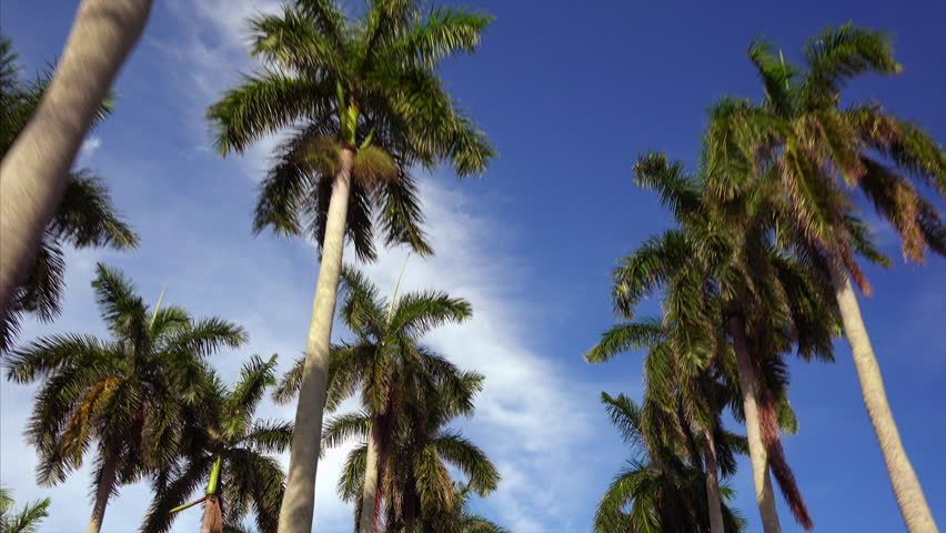 Driving past tropical Coconut Palm trees against a blue sky in downtown West Palm Beach, Florida