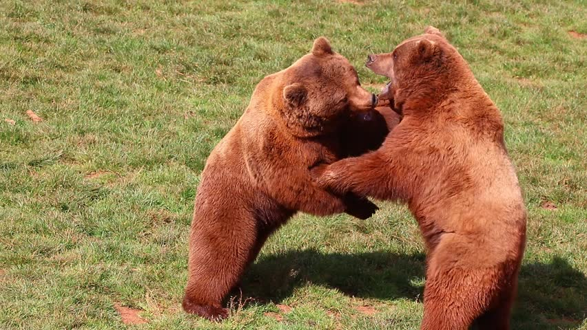 Bears fighting in Natural Park