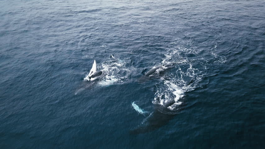 Aerial 4K video of Humpback whales playing on the surface in Pacific ocean. Tail and side fin slaps, body rolls. Awesome animals