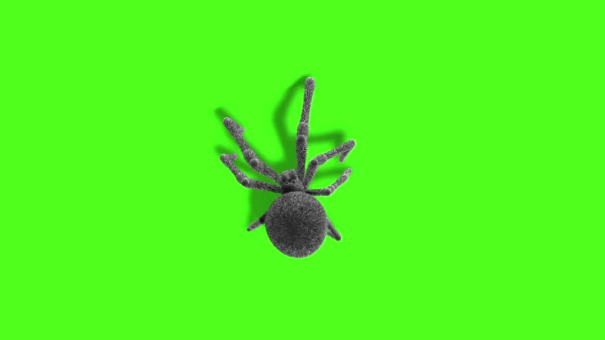 Arachnid Black Widow Spider on Wall Top Green Screen 3D Rendering Animation