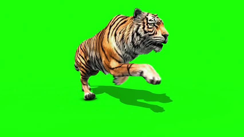 Tiger Run Animals Loop Close up Green Screen 3D Rendering Animation